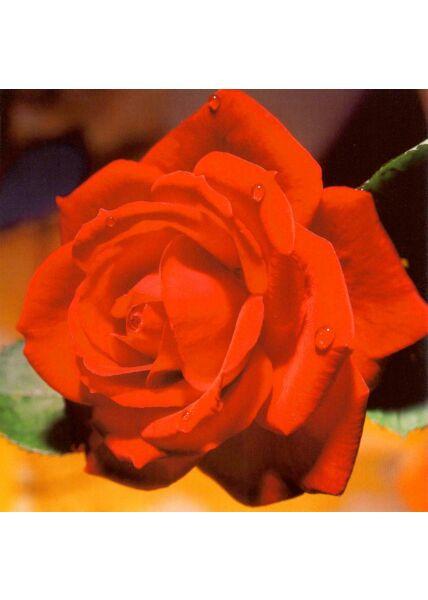 Grußkarte quadratisch ohne Text Rose rot