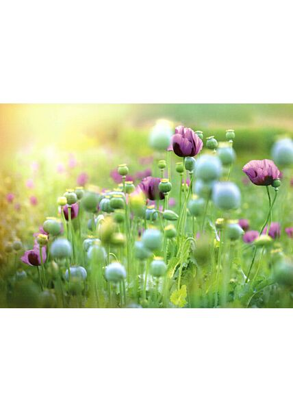 Schöne Blumen Postkarte Oriental Poppy