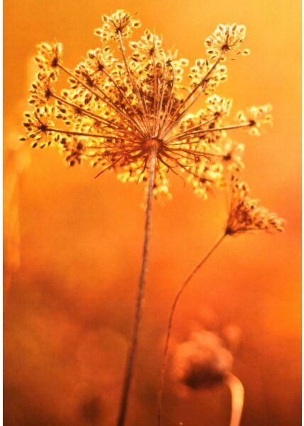 Schöne Blumen Postkarte Queen Anne's Lace