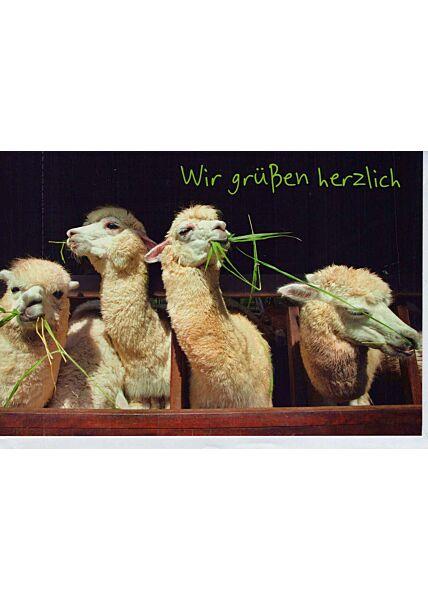 Grußkarte: Lamas