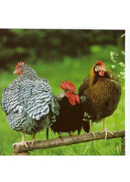 Grußkarte quadratisch ohne Text drei Hühner